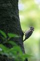 [野鳥]ヒナのために餌を集めるコゲラ