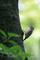 ヒナのために餌を集めるコゲラ