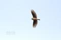 [野鳥][飛翔]ヒバリのさえずり飛翔
