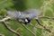 シジュウカラ♂のバサバサ