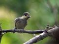 [野鳥]ヤマガラのお子様