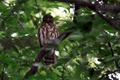[野鳥]アオバズク