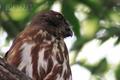 [野鳥]アオバズクの横顔