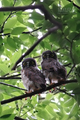 [野鳥]アオバズクの巣立ち