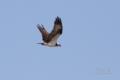 [野鳥][飛翔]雷撃機ミサゴ