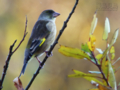 [野鳥]カワラヒワ秋景色