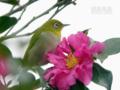 [野鳥][花&メジロ]デジスコ de メジロ