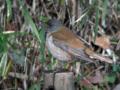 [野鳥]シロハラは森のジベタリアン