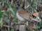 シロハラは森のジベタリアン