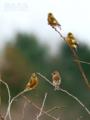 [野鳥]群れるの大好きカワラヒワ
