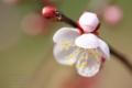 [植物]梅香る
