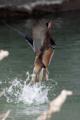 [野鳥][飛翔]オシドリは水陸両用VTOL