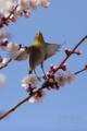 [野鳥][花&メジロ][飛翔]花から花へ メジロの季節