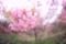 裏山のヒカンザクラ