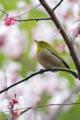 [野鳥][花&メジロ]春色メジロ