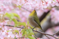 [野鳥][花&メジロ]サクラ三昧 メジロ三昧 その参