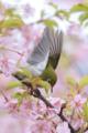[野鳥][花&メジロ]サクラ三昧 メジロ三昧 その弐