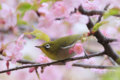 [野鳥][花&メジロ]サクラ三昧 メジロ三昧 その壱
