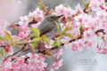 [野鳥]花蜜に夢中なヒヨドリ