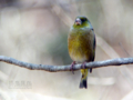 [野鳥]カワラヒワ♂