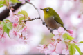 [野鳥][花&メジロ]早咲き桜とメジロ