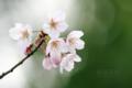 [植物][桜]ソメイヨシノ