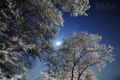[風景][月景色][桜]夜桜と月