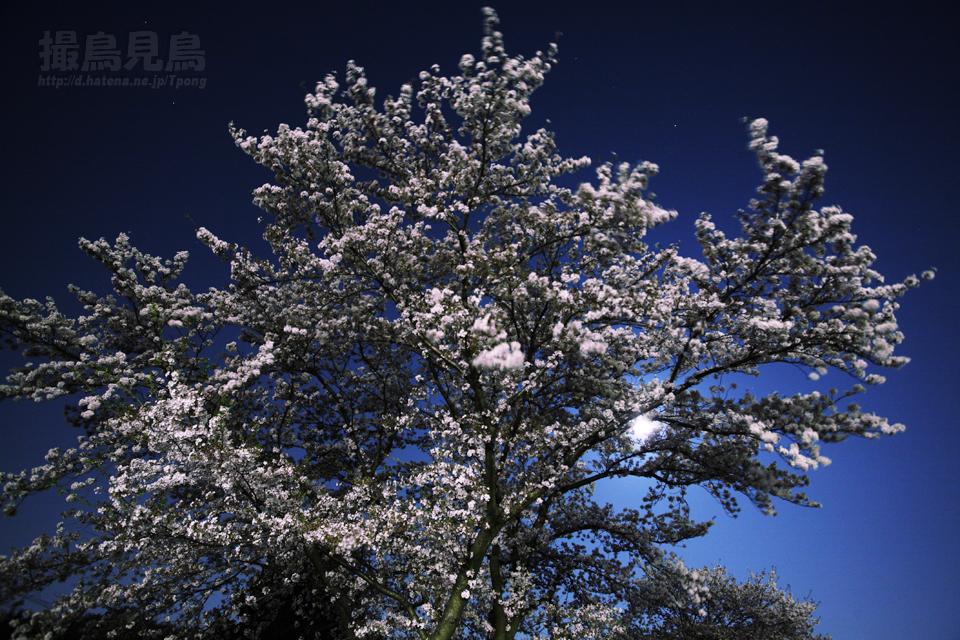 月下に散る(満月と夜桜)
