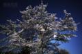 [風景][月景色][桜]月下に散る(満月と夜桜)