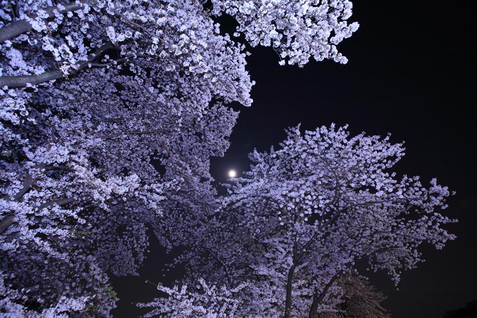 望月桜(満月と夜桜)