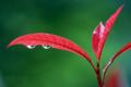 [植物]レッドロビン