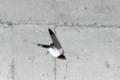[野鳥][飛翔]巣を出るツバメ