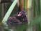 葦原に潜むカイツブリのヒナ