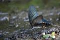 [虫]クロアゲハの吸水