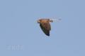 [野鳥][飛翔]チョウゲンボウ♀の飛翔02