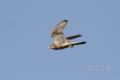 [野鳥][飛翔]チョウゲンボウ♀の飛翔01