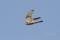 チョウゲンボウ♀の飛翔01