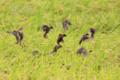 [野鳥][飛翔]稲穂に群がるスズメ
