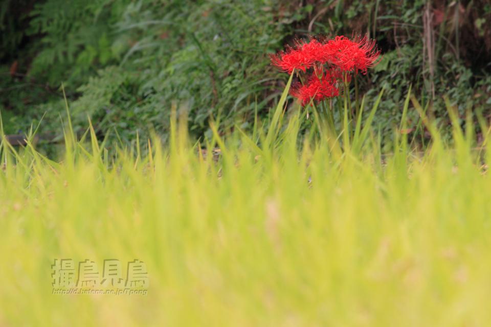 初秋の色(曼珠沙華)