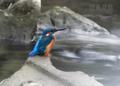 [野鳥]川面に佇む翡翠