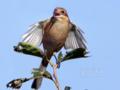 [野鳥]モズ♀の高鳴き