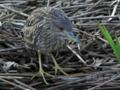 [野鳥]ゴイサギ幼鳥は木遁の術