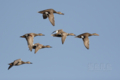 [野鳥][飛翔]オカヨシガモの群れ