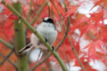 [野鳥]楓に佇むエナガ