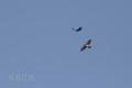 [野鳥][飛翔]オオタカにモビングするカラス