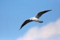 [野鳥][飛翔]ユリカモメの浮かぶ空
