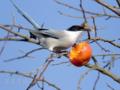 [野鳥]熟柿をむさぼるオナガ