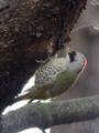 [野鳥]緑啄木鳥(アオゲラ)♀