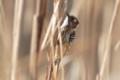 [野鳥]葦原のコゲラ