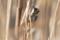 葦原のコゲラ
